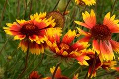 Άνθισμα Gaillardia στον κήπο στοκ φωτογραφίες