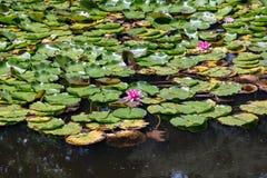 Άνθισμα Lilypads Στοκ εικόνα με δικαίωμα ελεύθερης χρήσης