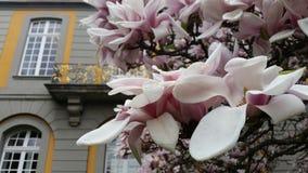 Άνθισμα Magnolie Στοκ εικόνα με δικαίωμα ελεύθερης χρήσης