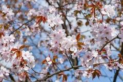 Άνθισμα Sakura Στοκ φωτογραφίες με δικαίωμα ελεύθερης χρήσης