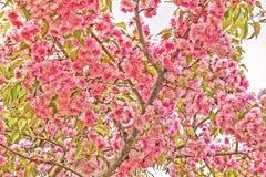 Άνθισμα Sakura Στοκ εικόνες με δικαίωμα ελεύθερης χρήσης
