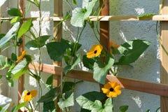 Άνθισμα Thunbergia ξύλινο trellis κοντά στον τοίχο στο μπαλκόνι Μαύρος-eyed εγκαταστάσεις αμπέλων της Susan με τα πορτοκαλιά λουλ στοκ φωτογραφία με δικαίωμα ελεύθερης χρήσης