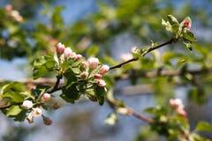 Άνθος άνοιξη δέντρων της Apple, κλάδος με την κινηματογράφηση σε πρώτο πλάνο λουλουδιών Στοκ Φωτογραφία