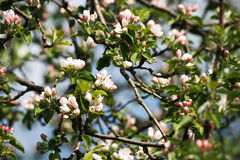Άνθος άνοιξη δέντρων της Apple, κλάδος με την κινηματογράφηση σε πρώτο πλάνο λουλουδιών Στοκ Εικόνα
