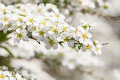 Άνθος άνοιξη δέντρων της Apple Στοκ Εικόνες