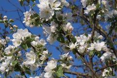 Άνθος άνοιξη δέντρων της Apple Στοκ φωτογραφία με δικαίωμα ελεύθερης χρήσης