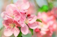Άνθος άνοιξη, λουλούδια της Apple Στοκ εικόνα με δικαίωμα ελεύθερης χρήσης