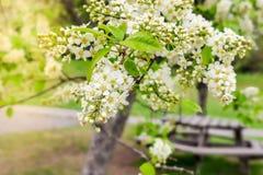 Άνθος άνοιξη Padus Prunus, επίσης γνωστό κεράσιπουλιών asστοκ φωτογραφίες