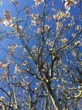 Άνθος δέντρων κερασιών άνοιξη Στοκ Φωτογραφία