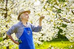 Άνθος δέντρων κερασιών κηπουρών strawhat Στοκ Εικόνες