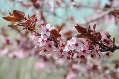 Άνθος δέντρων κερασιών, σύμβολο του ιαπωνικού πολιτισμού Στοκ φωτογραφίες με δικαίωμα ελεύθερης χρήσης