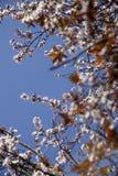 Άνθος δέντρων κερασιών Στοκ εικόνα με δικαίωμα ελεύθερης χρήσης