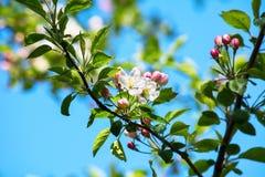 Άνθος δέντρων της Apple, εκλεκτική εστίαση Στοκ Εικόνες