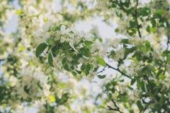 Άνθος δέντρων της Apple με τα άσπρα λουλούδια Στοκ εικόνες με δικαίωμα ελεύθερης χρήσης