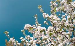 Άνθος δέντρων της Apple με τα άσπρα λουλούδια Στοκ Εικόνες