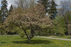 Άνθος δέντρων της Apple στην άνοιξη Στοκ Φωτογραφία