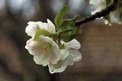Άνθος δέντρων της Apple στην άνοιξη Στοκ Εικόνες