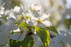 Άνθος δέντρων της Apple στο θολωμένο φυσικό υπόβαθρο Στοκ εικόνα με δικαίωμα ελεύθερης χρήσης