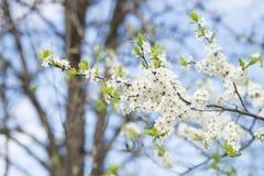 Άνθος δέντρων της Apple στο μπλε ουρανό Κήπος άνοιξη, υπαίθριος Στοκ εικόνες με δικαίωμα ελεύθερης χρήσης