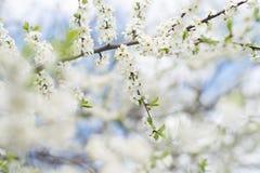 Άνθος δέντρων της Apple στο μπλε ουρανό Κήπος άνοιξη, υπαίθριος Στοκ Εικόνες