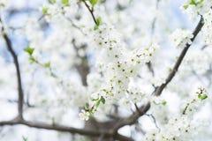 Άνθος δέντρων της Apple στο μπλε ουρανό Κήπος άνοιξη, υπαίθριος Στοκ φωτογραφία με δικαίωμα ελεύθερης χρήσης