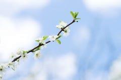Άνθος δέντρων της Apple στο μπλε ουρανό Κήπος άνοιξη, υπαίθριος Στοκ Εικόνα