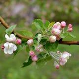 Άνθος δέντρων της Apple την άνοιξη Άσπρα και ρόδινα λουλούδια Στοκ Εικόνα