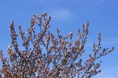 Άνθος δέντρων της Apple την άνοιξη Στοκ εικόνες με δικαίωμα ελεύθερης χρήσης