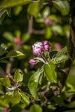 Άνθος δέντρων της Apple την άνοιξη Στοκ Εικόνες