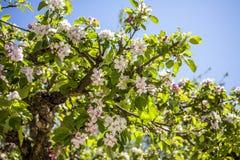 Άνθος δέντρων της Apple την άνοιξη Στοκ φωτογραφία με δικαίωμα ελεύθερης χρήσης