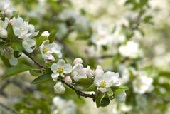 Άνθος δέντρων της Apple Στοκ εικόνα με δικαίωμα ελεύθερης χρήσης