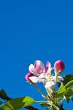 Άνθος δέντρων της Apple Στοκ φωτογραφία με δικαίωμα ελεύθερης χρήσης