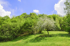 Άνθος δέντρων της Apple Στοκ Εικόνες