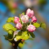 Άνθος δέντρων της Apple Στοκ Εικόνα