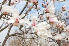 Άνθος δέντρων Magnolia Στοκ Εικόνες