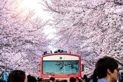 Άνθος ή Sakura κερασιών και trian την άνοιξη σε Jinhae, Νότια Κορέα Στοκ Εικόνες