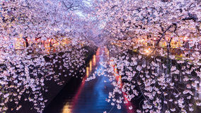 Άνθος ή Sakura κερασιών στο κανάλι Meguro Στοκ εικόνα με δικαίωμα ελεύθερης χρήσης