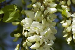 Άνθος ακακιών Άσπρα άνθος και φύλλα ακακιών στοκ φωτογραφίες με δικαίωμα ελεύθερης χρήσης