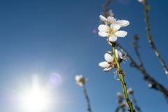 Άνθος αμυγδάλων: ένα φυσικό θέαμα στοκ φωτογραφία με δικαίωμα ελεύθερης χρήσης