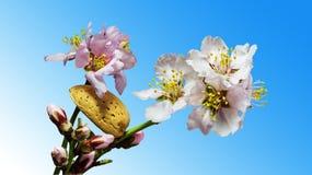 Άνθος και καρύδι αμυγδάλων στοκ φωτογραφία με δικαίωμα ελεύθερης χρήσης