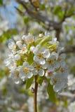 Άνθος δέντρων αχλαδιών την άνοιξη, πλήρες πλαίσιο στοκ εικόνες με δικαίωμα ελεύθερης χρήσης
