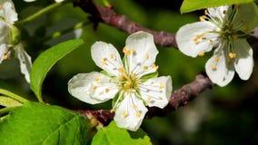 Άνθος δέντρων κερασιών με τα άσπρα πέταλα, μακροεντολή απόθεμα βίντεο
