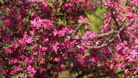 Άνθος δέντρων μηλιάς καβουριών απόθεμα βίντεο