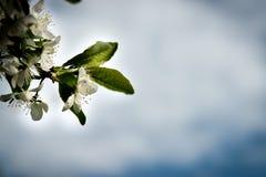 Άνθος δέντρων της Apple ενάντια στον ουρανό σύννεφων άνοιξη Στοκ Φωτογραφίες