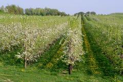 Άνθος δέντρων της Apple, εποχή άνοιξης στους οπωρώνες φρούτων σε Haspengou Στοκ Εικόνες