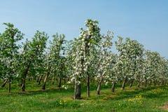 Άνθος δέντρων της Apple, εποχή άνοιξης στους οπωρώνες φρούτων σε Haspengou Στοκ Εικόνα