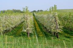 Άνθος δέντρων της Apple, εποχή άνοιξης στους οπωρώνες φρούτων σε Haspengou Στοκ εικόνα με δικαίωμα ελεύθερης χρήσης