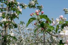 Άνθος δέντρων της Apple, εποχή άνοιξης στους οπωρώνες φρούτων σε Haspengou Στοκ Φωτογραφία