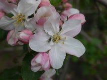 Άνθος δέντρων της Apple με τη σκόνη λουλουδιών και γραμματόσημο λουλουδιών, λουλούδι με το έντομο Στοκ Φωτογραφία