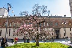 Άνθος δέντρων Magnolia στο Μιλάνο, Ιταλία στοκ φωτογραφία